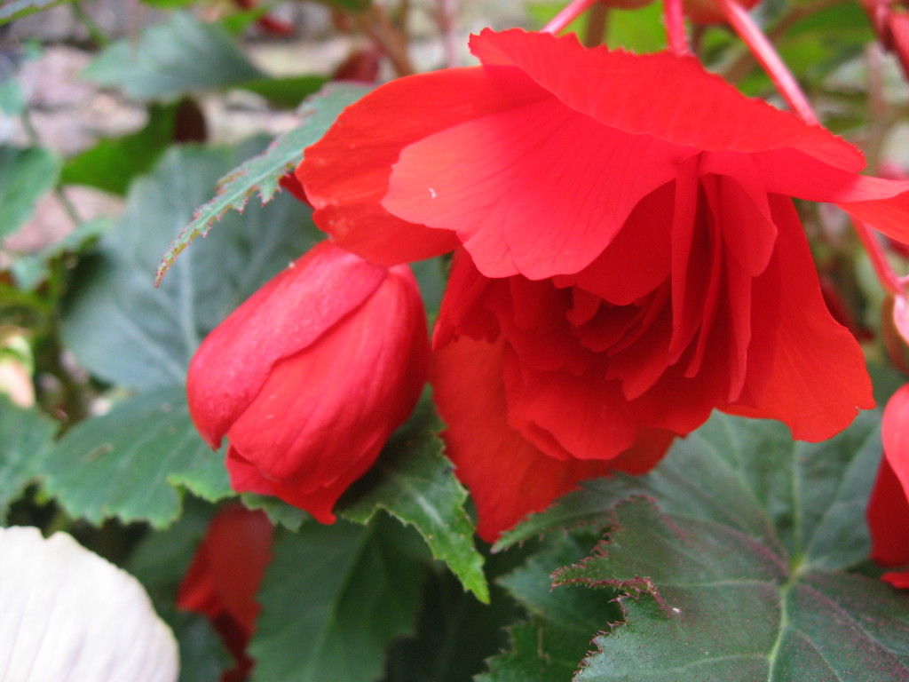 Pictures of my begonias