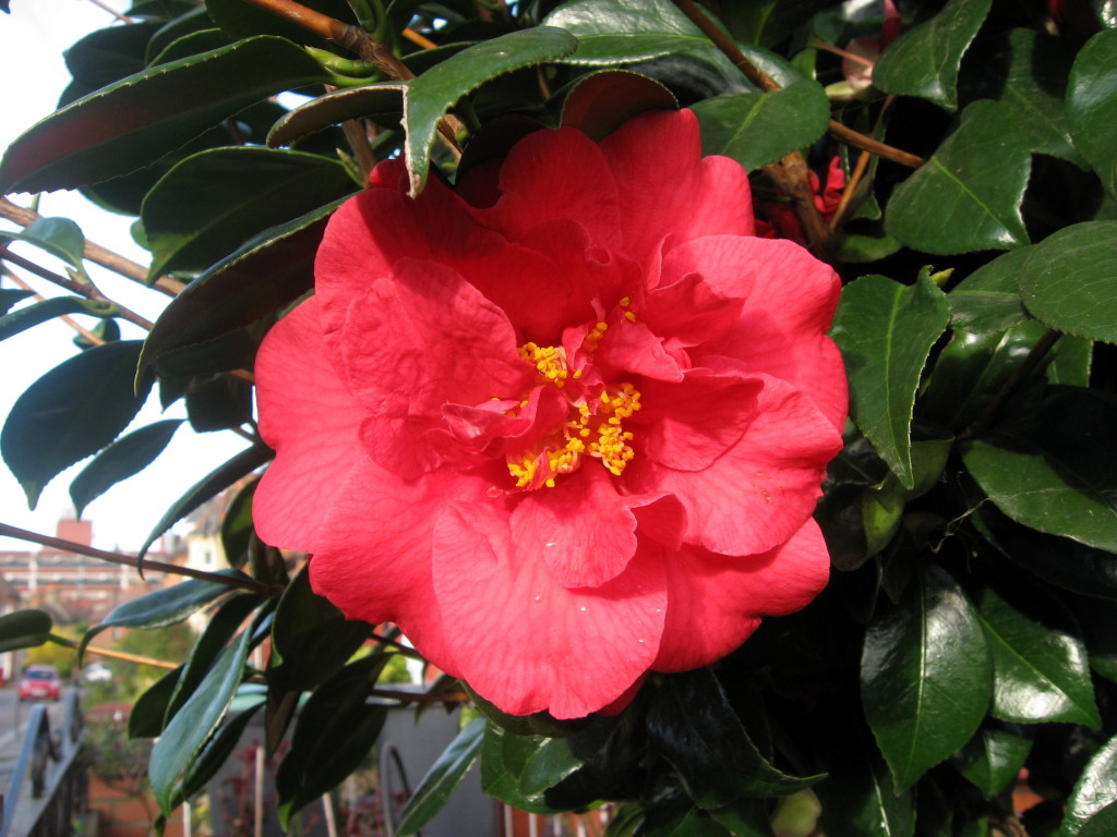 Photos of Camellias