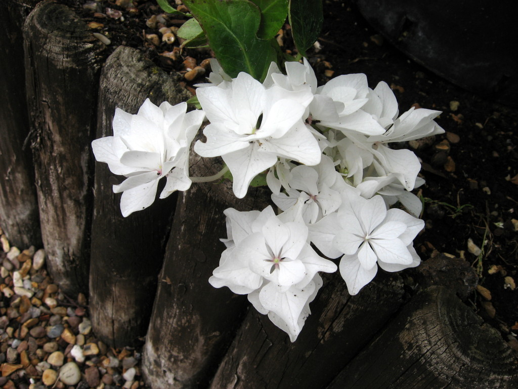 Photos of Hydrangeas